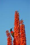 Aloe arancio luminoso con il sunbird Fotografie Stock