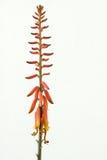 Aloe arancio luminoso Vera Flowers Fotografia Stock Libera da Diritti