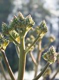 Aloe Arborescens Fotografia Stock