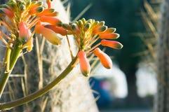 Aloe Arborescens Fotografie Stock