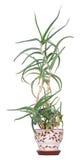 Aloe arborescens Stock Photos