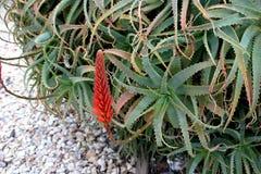 Free Aloe Arborescens, Krantz Aloe, Candelabra Aloe Royalty Free Stock Images - 84508659
