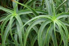 Aloe arborescens nach dem Regen Lizenzfreie Stockfotografie