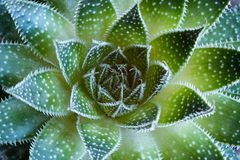 Aloe aristata Succulent  Plant abstract details Royalty Free Stock Photography