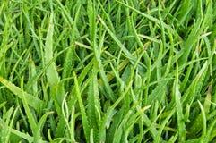 Aloe barbadensis or aloe vera Stock Image