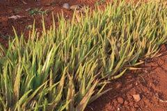 Aloe barbadensis Mühle im Garten Stockfotos