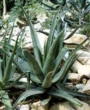 Aloe; Barbadensis; Vera Fotografia Stock Libera da Diritti