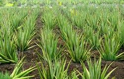 Aloe-Bauernhof Lizenzfreie Stockfotografie