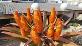 Aloe-Blühen stockbilder