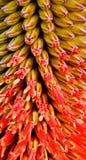Aloe-Blüte Lizenzfreie Stockfotos