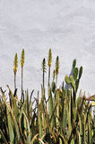 Aloe blossoms against plaster wall. Bright yellow aloe blossoms stand tall against a white plaster wall. Taken in Charlotte Amalie, St. Thomas, US Virgin Islands stock image