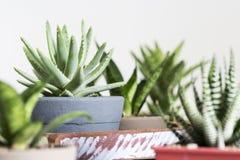 Aloe Brevifolia Cocodrilo Dientes Succulent Royalty Free Stock Image
