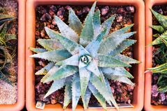 Aloe brevifolia in a planter Royalty Free Stock Photography
