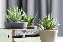 Aloe brevifolia succulent and snake plant in living room. With copy space royalty free stock photos