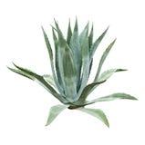 Aloe bush Royalty Free Stock Photos