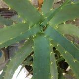 Aloe Bush låter vara prickly Royaltyfri Foto