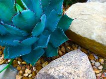 Aloe Cactus. An Aloe cactus growing by rocks Royalty Free Stock Image