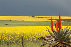 Aloe in the canola field. In spring, just after the rain Royalty Free Stock Image