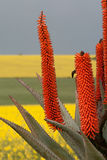 Aloe in the canola field. In spring, just after the rain Stock Photo