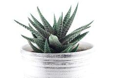 Aloe casalingo in un vaso Fotografie Stock