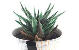 Aloe casalingo in un vaso Immagine Stock Libera da Diritti
