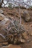 Aloe che cresce in una banca rocciosa #2 Fotografie Stock Libere da Diritti