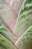 Aloe. Close up of an aloe plant Stock Photos