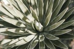 aloe & x28; closeup& x29; Verde Immagine Stock Libera da Diritti