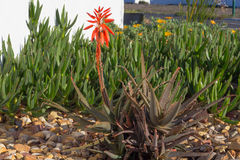 Aloe con il fiore rosso Immagini Stock Libere da Diritti