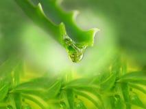Aloe con il gocciolamento del succo puro Fotografie Stock Libere da Diritti