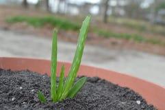 Aloe conservato in vaso Vera Fotografia Stock Libera da Diritti
