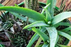 Aloe conservato in vaso Vera Plant sulla tavola di legno Le piante verdi tropicali delle foglie di vera dell'aloe tollerano il fu Fotografie Stock Libere da Diritti