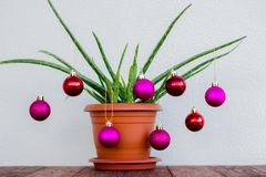 Aloe is decorated with New Year`s toys stock photo