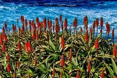 Aloe dei candelabri con una vista di oceano alla costa di La Jolia, California Fotografia Stock
