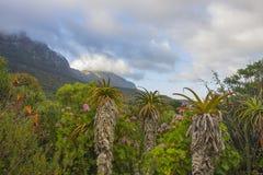 Aloe dei giardini di Kirstenbosch Immagini Stock