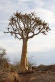 Aloe del deserto Immagine Stock Libera da Diritti
