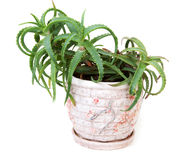 Aloe del fiore in POT di argilla Immagini Stock Libere da Diritti