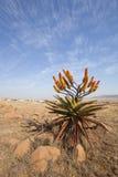 Aloe della montagna Immagini Stock