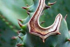 Aloe della montagna - aloe Marlothii Fotografia Stock Libera da Diritti