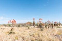 Aloe della montagna o di Windhoek, littoralis dell'aloe, a nord di Otjiwarong Immagine Stock Libera da Diritti