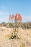 Aloe della montagna o di Windhoek, littoralis dell'aloe, a nord di Otjiwarongo Fotografia Stock Libera da Diritti