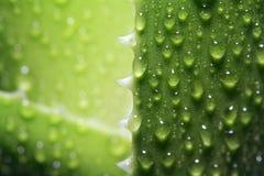 Aloe dello strato Fotografia Stock Libera da Diritti