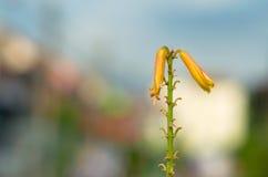 Aloe di fioritura Fotografia Stock Libera da Diritti