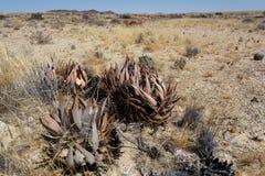 Aloe di fioritura nel deserto della Namibia Immagine Stock Libera da Diritti