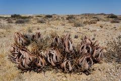 Aloe di fioritura nel deserto della Namibia Fotografia Stock