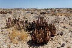 Aloe di fioritura nel deserto della Namibia Immagine Stock