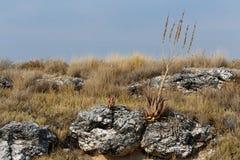 aloe di fioritura nel deserto di Etosha Fotografia Stock