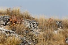 aloe di fioritura nel deserto di Etosha Immagini Stock