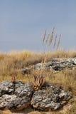 Aloe di fioritura nel parco nazionale di Etosha, Fotografia Stock Libera da Diritti