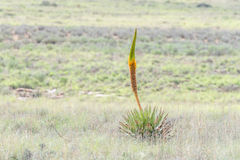 Aloe di fioritura non identificato Immagine Stock